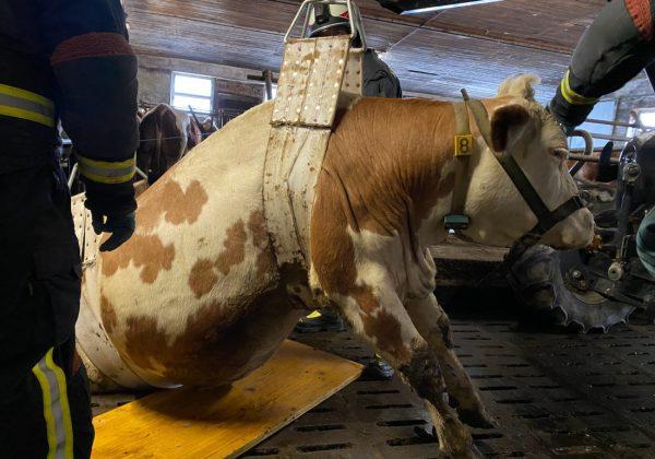 Kuh in Boden eingebrochen